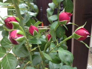 ルージュピエールドロンサールも房咲き
